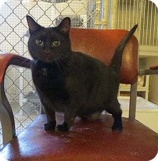 Domestic Shorthair Cat for adoption in Geneseo, Illinois - Corky