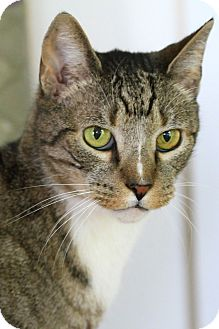 Domestic Shorthair Cat for adoption in Gaithersburg, Maryland - Yogi Berra