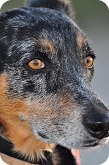 Australian Cattle Dog Dog for adption in Gilbert, Arizona - Sadie