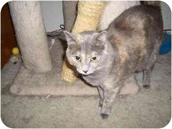 Domestic Shorthair Cat for adoption in Hesperia, California - Mindy