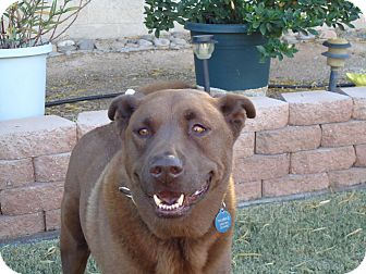 Labrador Retriever Mix Dog for adption in Tucson, Arizona - COCO
