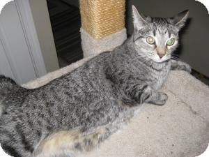 Domestic Mediumhair Cat for adoption in Roseville, California - Lee Lee