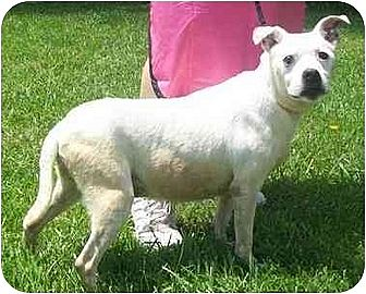 American Pit Bull Terrier Dog for adption in Smithfield, Pennsylvania - Hope in memory 12-3-10