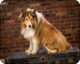 Sheltie, Shetland Sheepdog Dog for Sale in Owensboro, Kentucky - Max