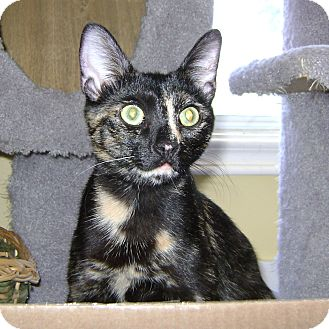 Domestic Shorthair Cat for adoption in Toronto, Ontario - Bebe