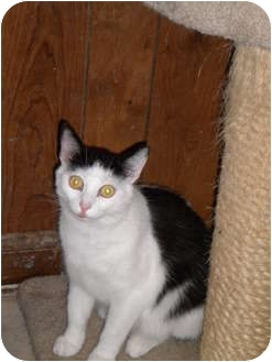 Domestic Shorthair Cat for adoption in Cleveland, Ohio - Spitzer
