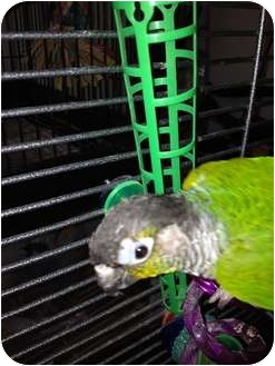 Conure for Sale in Punta Gorda, Florida - Squirt