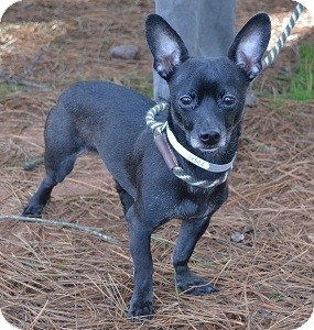 Chihuahua/Terrier (Unknown Type, Small) Mix Dog for Sale in Athens, Georgia - Ty