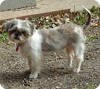 Shih Tzu Mix Dog for Sale in Granbury, Texas - Paris