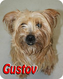 Silky Terrier Mix Dog for Sale in Midland, Texas - Gustov
