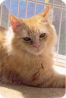 Maine Coon Kitten for adoption in Vacaville, California - Tommy and Trixie Tripod