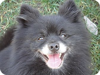 Pomeranian Mix Dog for adption in Santa Rosa, California - Oso