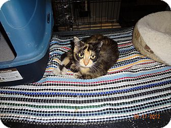 Calico Cat for Sale in Saint Albans, West Virginia - Kim