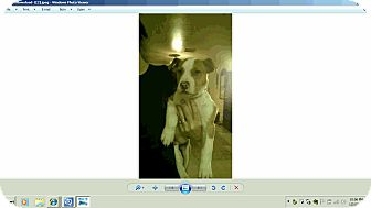 Pit Bull Terrier Mix Puppy for adption in Chandler, Arizona - Chevy