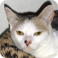 Calico Cat for adoption in Alameda, California - ANNIE