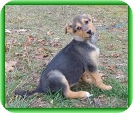 Shepherd (Unknown Type) Mix Puppy for Sale in Allentown, Pennsylvania - Yasmin