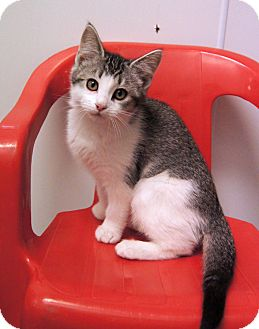 Domestic Shorthair Kitten for Sale in Colorado Springs, Colorado - Leia