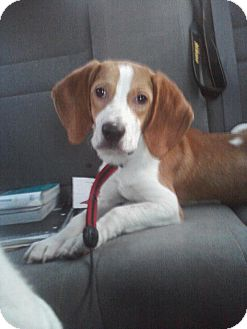 Beagle Mix Puppy for Sale in Manassas, Virginia - Tucker