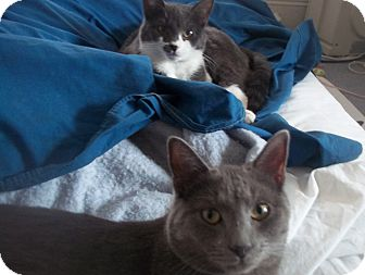 Russian Blue Cat for adoption in bayside, New York - brother n sister