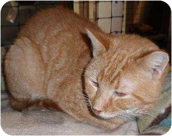 Domestic Shorthair Cat for adoption in Waldorf, Maryland - Oscar