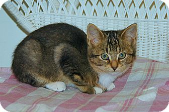 American Shorthair Kitten for Sale in Victor, New York - Misty