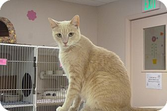 Domestic Shorthair Cat for adoption in St. Petersburg, Florida - Chip