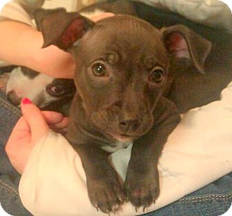 Terrier (Unknown Type, Medium) Mix Puppy for Sale in Troy, Michigan - Izzy