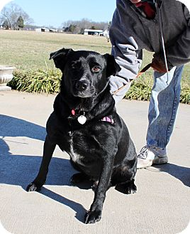 Labrador Retriever Mix Dog for adption in Nolensville, Tennessee - Scooby-doo