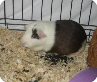 Guinea Pig for adoption in Glendale, Arizona - Woody
