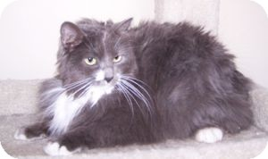 Domestic Longhair Cat for Sale in Colorado Springs, Colorado - Miss Willow (MIssy)