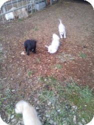 Labrador Retriever Mix Puppy for Sale in Marlton, New Jersey - Puppies are Coming!  1/16/13