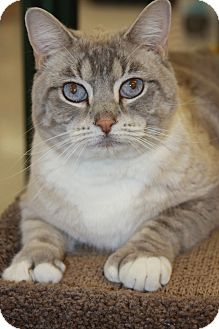 Siamese Cat for Sale in Phoenix, Arizona - Frankie the Polydactyl