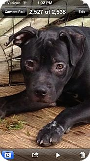 American Pit Bull Terrier/Boxer Mix Puppy for adption in Pittsburgh, Pennsylvania - Jangle