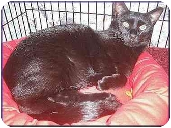Domestic Mediumhair Cat for adoption in Colmar, Pennsylvania - Toby