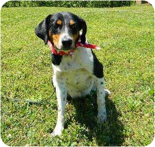 Hound (Unknown Type)/Pointer Mix Dog for adption in Batesville, Arkansas - Player