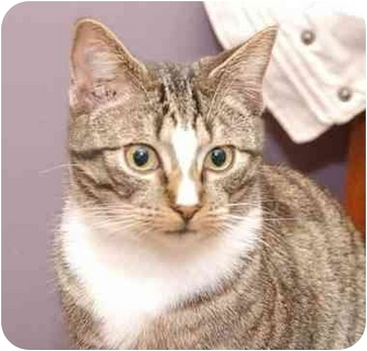 Domestic Mediumhair Cat for adoption in Grafton, West Virginia - Spartacas