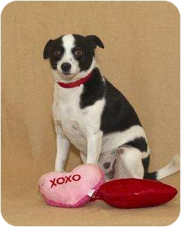 Radnor, PA - Fox Terrier (Toy)/Chihuahua Mix. Meet Spot a Dog for ...