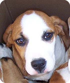 Boxer/St. Bernard Mix Puppy for Sale in Brookville, Indiana - Karla