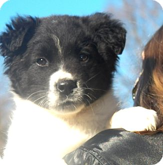 Border Collie Mix Puppy for Sale in Sussex, New Jersey - Yankee