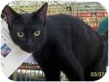 Domestic Shorthair Cat for adoption in Sacramento, California - Guido