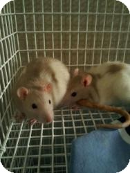 Rat for adoption in Scottsdale, Arizona - popcorn