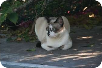 Siamese Cat for adoption in Naples, Florida - Thor