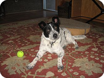 Australian Cattle Dog Mix Dog for Sale in Gilbert, Arizona - Claire - Adoption Pending