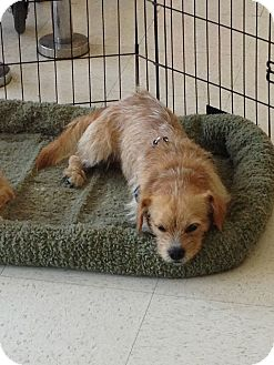 Cairn Terrier/Dachshund Mix Dog for Sale in Brea, California - Max