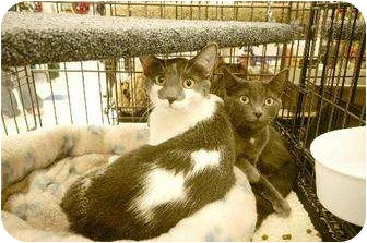 American Shorthair Cat for adoption in Chino, California - Petra &amp; Pixar