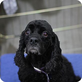 Cocker Spaniel Dog for adption in Spanaway, Washington - MANDY