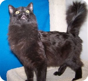 Domestic Longhair Cat for Sale in Colorado Springs, Colorado - Santana