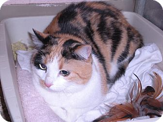 Calico Cat for Sale in New Castle, Pennsylvania -