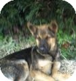 German Shepherd Dog Mix Dog for Sale in Manchester, Connecticut - ROCKY  ADOPTION PENDING