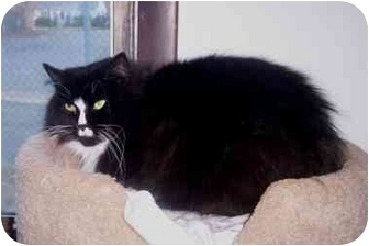 Domestic Longhair Cat for adoption in Quincy, Massachusetts - Ashley